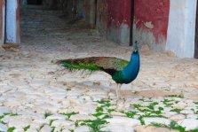 Peacock in Sicily