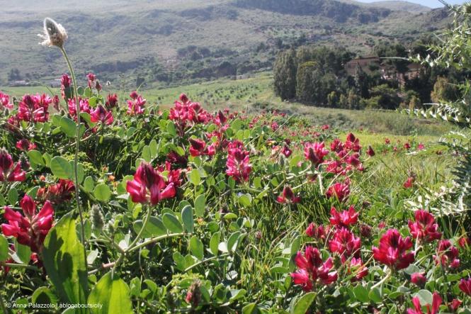 Sulla flowers in Sicily