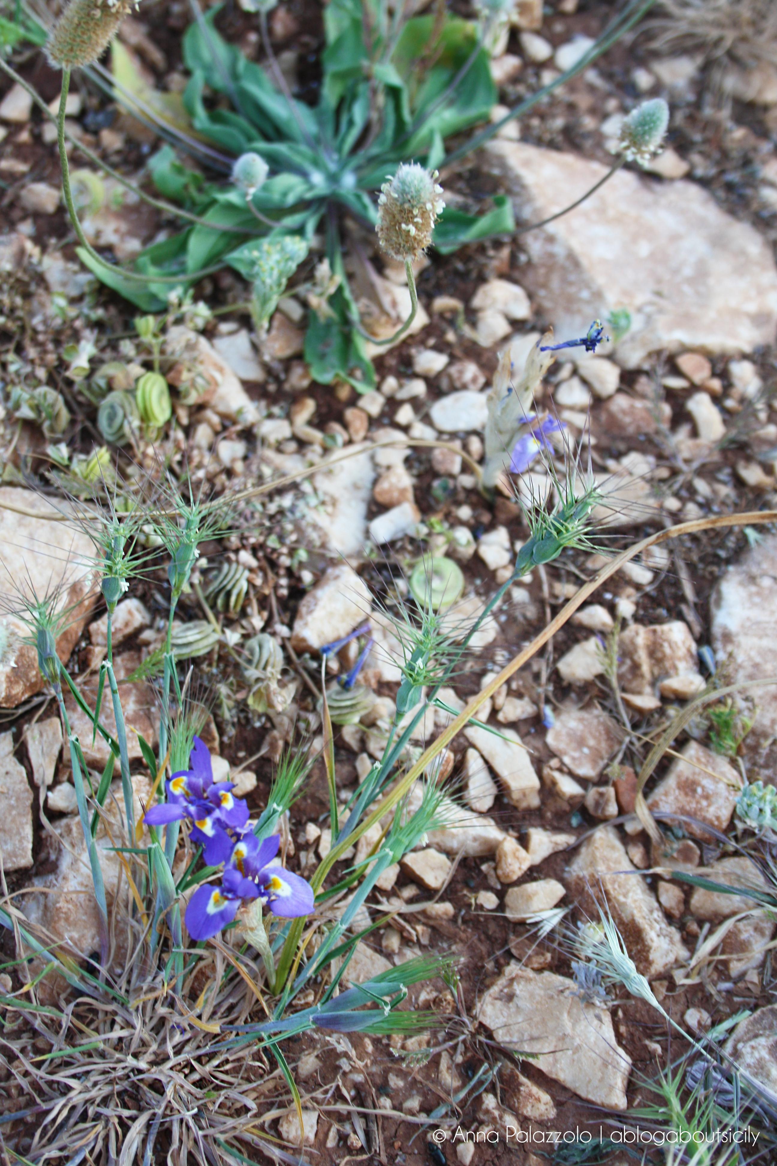 Fiori Selvatici Foto E Nomi fiori di primavera in sicilia | aprile – ablogaboutsicily